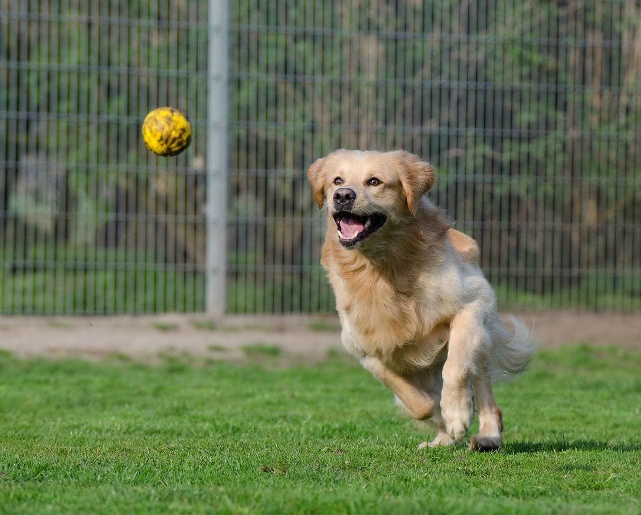 Cane che gioca a palla
