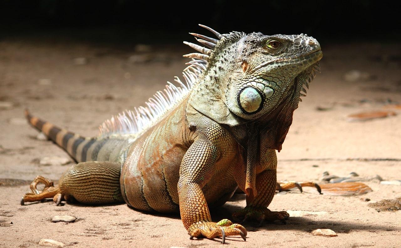 Iguane à faire garder