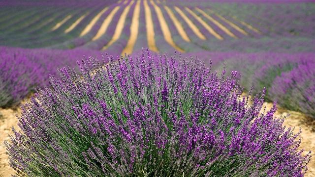 Champs de lavande au sud la France