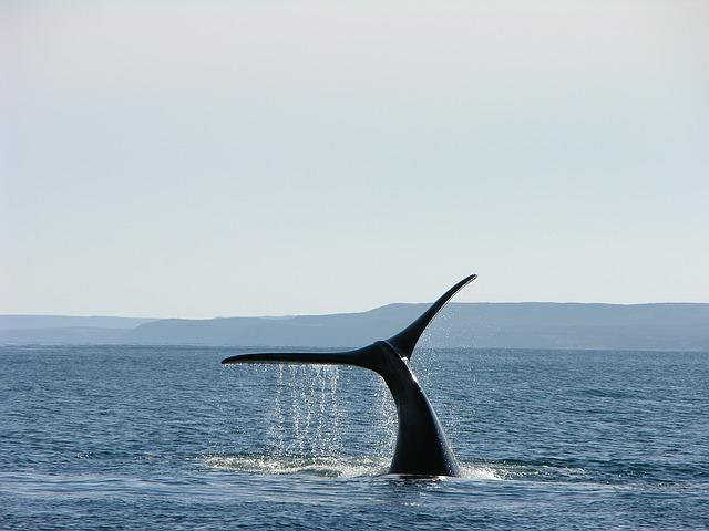 Balena in Patagonia, Argentina