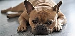 Bull-dog francês