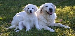 Cães brancos